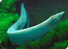 anguila electrica pesca