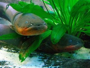 anguila electrica pescar