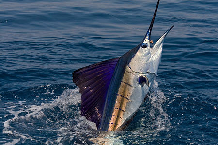 pesca guatemala pez vela