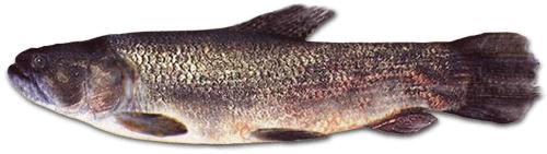 pesca tararira