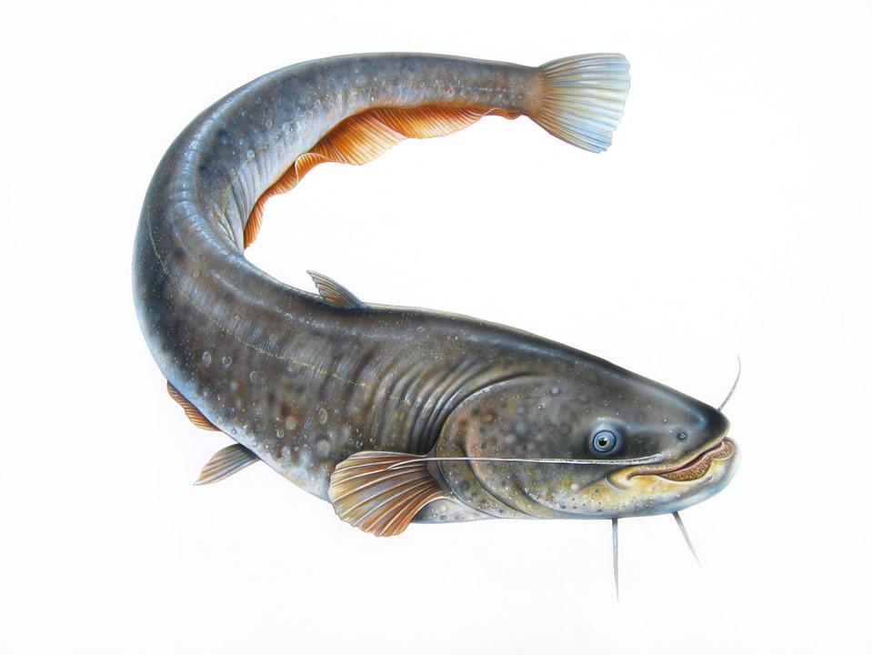 pez gato pesca