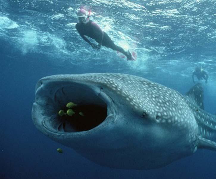 plus gros poisson requin baleine