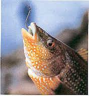 pez picando anzuelo