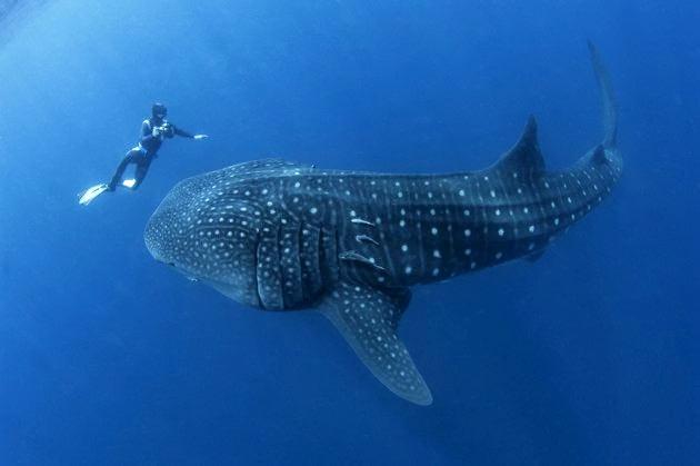 tiburon ballena el pez mas grande